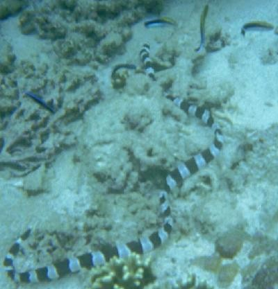 Snake Eel and Cleaner Wrasse
