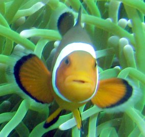 Amphiprion ocellaris
