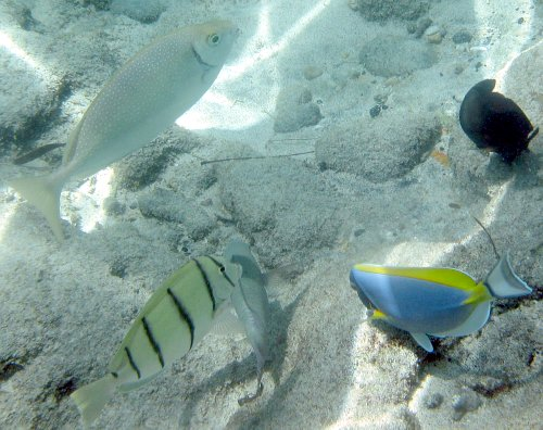 White-spotted Spinefoot, Convict Tang and Powder Blue Tang