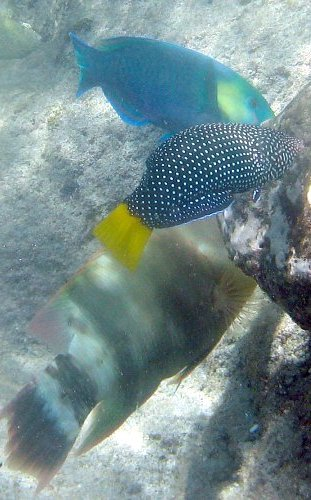 Spotted Wrasse, Anampses meleagrides