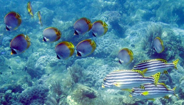 Butterflyfish and Sweetlips
